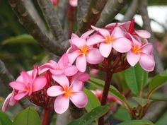 Frangipanis in Kauai <3