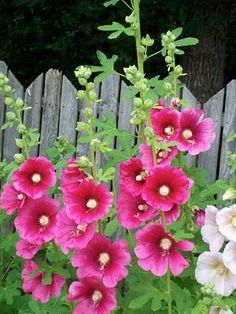 Holly Hocks--blooms second year so plant late summer so it comes up, then it… Pretty Flowers, Bloom, Planting Flowers, Plants, Hollyhock, Hollyhocks Flowers, Beautiful Flowers, Cottage Garden Design, Love Flowers