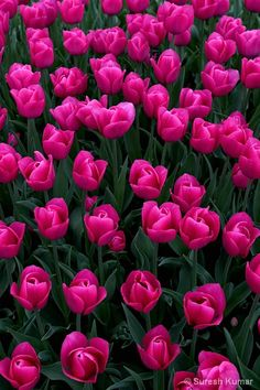 Two of my favorite things vibrant coloRs and flowers => Pink Tulips Amazing Flowers, My Flower, Pretty In Pink, Beautiful Flowers, Fuchsia, Pink Tulips, Trees To Plant, Spring Flowers, Planting Flowers