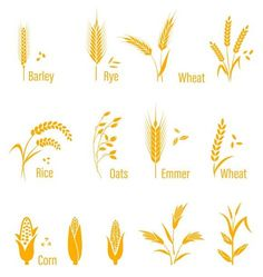 wheat, corn, oats, rye, barley by Riots Brush on Rice Plant, Corn Plant, Wheat Drawing, Pencil Illustration, Plant Illustration, Graphic Design Typography, Logo Design, Wheat Tattoo, Dibujo