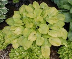 Hosta King Tut - Hostas White Blooms - Gold Corrugated Hostas - Just planted a starter plant.