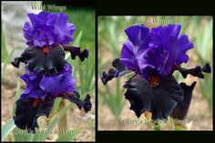 WILD WINGS - Keppel 1999 Honorable Mention - 2001 Award of Merit - 2003 Dark violet standards and heavily ruffled and flared nearly black falls. The rusty terra cotta beards really set the dark falls off. Blooms early to mid season on 34 inch stalks.