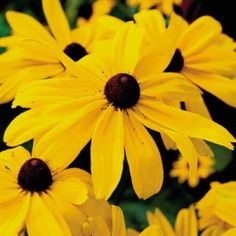 Black-eyed Susan Rudbeckia hirta Sturdy and easy to grow, this early-summer-blooming flower brightens gardens. Cutting encourages them to rebloom late in the season. The 2- to 4-inch blooms have orange-red rays and a prominent purplish-black cone. Deer usually steer clear of these plants.