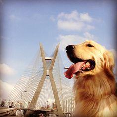 Esta Golden Retriever é protagonista de série fotográfica que mostra a perspectiva da simpática cadela Pagu e de seu dono Gustavo Oliveira em passeios pela capital paulista. Passeio pela Ponte Estaiada de São Paulo. #Travel #Dog #SaoPaulo #Brazil