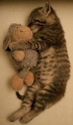 Gatinho que dorme com cordeiro brinquedo