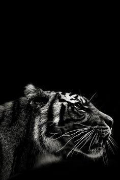 Tiger black and white photography Beautiful Cats, Animals Beautiful, Bengalischer Tiger, Bengal Tiger, Animals And Pets, Cute Animals, Black Animals, Amazing Animals, Leopards