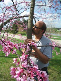 Blooming Redbud at Morton Arboretum.