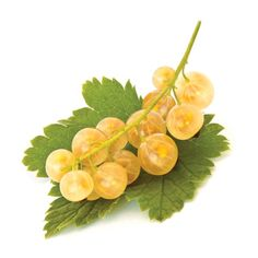 Porzeczka biała - Ribes niveum 'Biała z Juterbog'