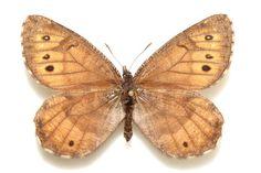 Het gaat mogelijk om een hybride soort en kan wel eens de enige endemische vlindersoort zijn die Alaska rijk is. De laatste keer dat er een nieuwe vlinders