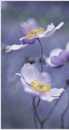Soft mauve blooms