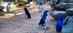 Cutey penguins, sydney Zoo. Australia