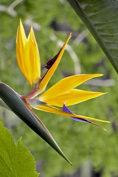 One of the most popular plants in Florida, the Bird of Paradise requires little care and produces spectacular flowers.