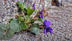 #flower #flowers #viola #purple #plants #plant #nature #spring #concrete #natureporn #naturephotography #dof #city #zagreb #croatia #spring #sun #photography