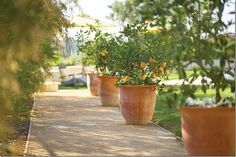 love these pots, love the citrus trees, need an awesome long walk-way to put some....