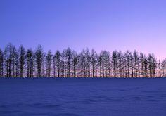 夕暮れを待つ丘の木立 美瑛町 夕暮れ時の茜色から青色へのグラデーションが美しい。一列に並ぶ木立は美瑛の代表的な風景の一つ。これらは農業を支える防風林として、とても重要な役割を果たしている。農作物を強風の被害から守るだけでなく、土の温度を保ち成長を促す。