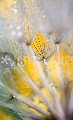 """Seedhead with Raindrops. Credit as"" Picture art prints and posters by Danita Delimont - ARTFLAKES.COM"