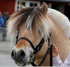 Description of the horse | Belgisch Fjordenpaardenstamboek vzw