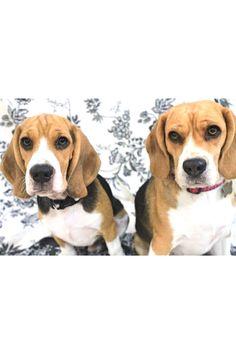 #balanceisthekey #dogstargram #beagles #beaglelove #beaglemania #mydogiscutest #beagleworld_feature #beagleworld #beaglemasters #justbeagles #dogofinstagram #dogsandpals #perro #mascota #excellent_dogs #barkbox #barkpark #barkpost #dailybarker #dailydog #dogs #dogsarefamily #beautifuldog #dogscorner #hikingwithdogs #adventureswithdogs #houndsbazaar #christmasgifts #xmasgifts #birthdaygifts #bestfriend #giftsegment #girlfriendgiftideas