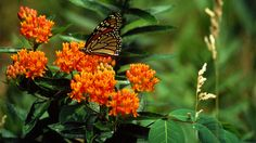 Butterfly Weed: 2017 Perennial Plant of the Year