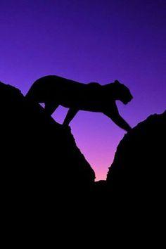 mountain lion sillouette