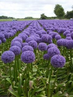 A field of Purple Allium Globemaster. This specific one comes from a bulb.