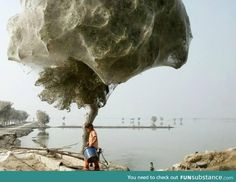 Spiders climbed trees to avoid flooding in Pakistan