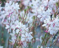 Lindheimer's Beeblossom, Gaura Lindheimeri, drought tolerant perennials, White Gaura, White flowers, deer resistant perennial, salt tolerant perennial