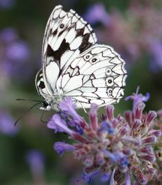 Catmint & butterfly.