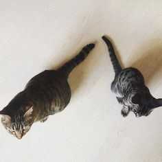 久々のツーショット📷✨ 同じ柄のようで若干の柄違いと色の違い🐈 ・ cocoの気の強さとめちゃくちゃ優しいところはToraソックリ(笑) ・ Toraは我が家のボス的存在💕 新入りにはビシバシ厳しい反面、包み込む優しさもデカイ😌✨ ・ 男前ならぬ女前♡(/∀\*) ・ #猫#neko#cat#nekosan#Blackcat#instacat#catstagram#子猫#lovecat#可愛い猫#猫バカ部#ねこ部#捨て猫#保護猫#多頭飼い#にゃんすたぐらむ#にゃんだふるらいふ#サバトラ#キジトラ#愛猫#殺処分ゼロ#猫のいる生活#生後4ヶ月の仔猫#こねこ#仔猫#里親募集