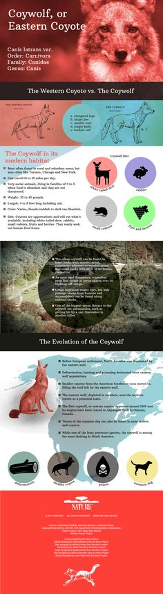 Educational Infographic for Life Science and Biology - Meet the Coywolf: a hybrid of the coyote and the wolf. Has anyone assigned an infographic as a learning product?