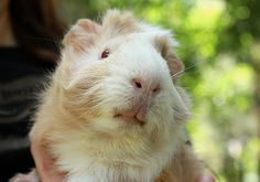 Rex the guinea pig 1 by fizzyjess, via Flickr