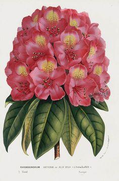 Rhododendrum 1845 Charles Lemaire Flore des Serres et des Jardin Camellia, Azalea, Rhododendron Prints