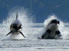 """""""@zbleumoon:       SAVE #DOLPHINS & #WHALES!     Pls Sign http://chn.ge/150LStZ  ty """" orca Olympic freestyle"""