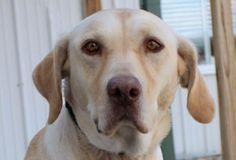 10/28/16 Petango.com – Meet Nova, a 4 years 2 months Retriever, Labrador available for adoption in COLORADO SPRINGS, CO