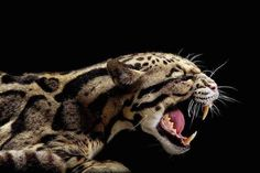Panthère nébuleuse ou longibande / Clouded leopard / Pantera nebulosa / Neofelis nebulosa