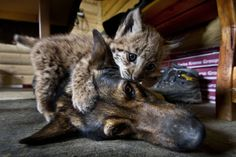 """Cani e gatti sono nemici di vecchia data, ma Lilica è diventato il migliore amico di Liza, Viki e Muro, tre cuccioli di lince selvatica (Lynx lynx). I quattro animali, diventati inseparabili, si sono conosciuti nell'ambito del progetto """"Il ritorno della lince"""" del Parco Nazionale di Velka Fatra che punta alla reintroduzione di questo felino selvatico in Slovacchia.  ------------- Le più belle foto di cuccioli - Focus.it"""