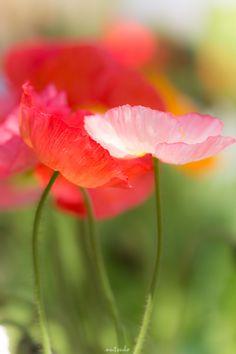 POPPY FLOWER MACROPHOTOGRAPHY