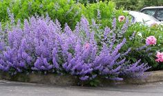 Nepata catmint :: love this low maintenance, long lasting perennial.
