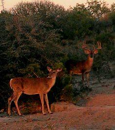 South Texas Whitetail.