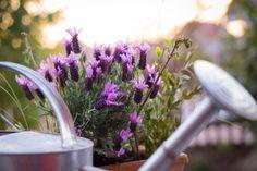 125 Container Garden Ideas and Tips For Garden Pots and Planter Design - IOTA Designer Planters Part Shade Plants, Plants That Love Shade, Sun Plants, Spanish Lavender, Pot Jardin, Victory Garden, Gardenias, Plant Needs, Outdoor Plants