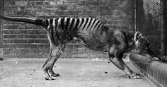 The last thylacine, or Tasmanian tiger, died in captivity in 1936. (Credit: Getty) Not so Ancient! This once was a vibrant animal.