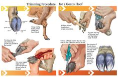 Add to Favorites Goat hoof trimming is a necessary part of keeping and raising goats. When a goat cooperates, hoof trimming can easily and smoothly fit into your regular maintenance … Cabras Saanen, Goat Hoof Trimming, Cabras Boer, Goat Playground, Goat Shelter, Horse Shelter, Animal Shelter, Mini Goats, Goat Pen
