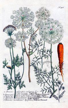 """""""La carotte sauvage """" expliquée sur une ancienne planche de botanique. / By Johann Wilhelm Weinmann."""