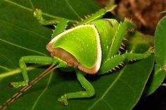 Giant False Leaf Katydid Nymph