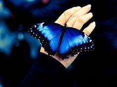 blue vlinders