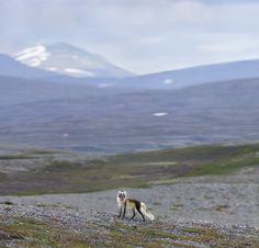 Vaeltajat - Jorma Luhdan luontokuvia Pohjois-Lapin tunturiylängöiltä