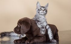 Download wallpapers cat and dog, Maine Coon, Labrador, puppy and kitten, 4k, friendship concepts, cute little animals, brown retriever, puppy