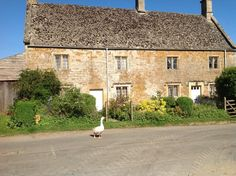 Cotswolds. A goose in front of a village house in Chastleton