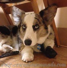 Blue Merle cardigan welsh corgi dog, Brychwyn