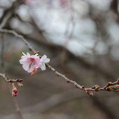 【nao.394649】さんのInstagramをピンしています。 《. 1/13  サクラサク  頑張った人のところにちゃんと咲きますよう🌸 . . . #カメラ散歩  #お写ん歩  #一眼レフ初心者  #ファインダー越しの私の世界 #加工なし #flower  #flowers  #花  #桜  #サクラサク  #サクラ  #四季桜  #二度桜  #二度咲き #instagramjapan  #team_jp_ #受験  #合格  #合格祈願  #加工なし  #撮って出し  #はなまっぷ . 2016.晩秋  撮影 .》